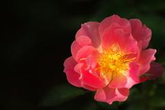 薔薇のささやき♪
