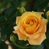 薔薇香る頃♪1