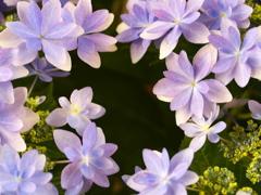 紫陽花の頃♪6
