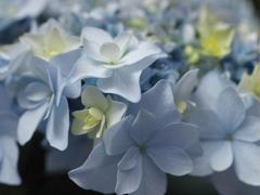 紫陽花の頃♪5
