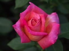薔薇香る頃♪9