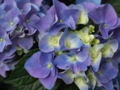 紫陽花の頃♪7