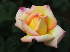 薔薇香る頃♪8