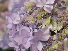 紫陽花の頃♪4