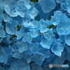 太平山の紫陽花♪8