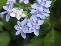 紫陽花の頃♪9