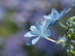 紫陽花の頃♪3