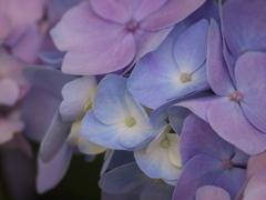 紫陽花の頃♪10