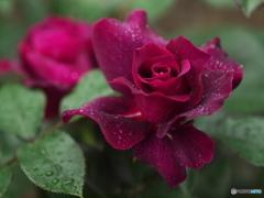 井頭公園の薔薇♪1