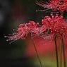 雨の中の彼岸花Ⅱ