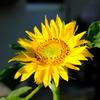 庭先の向日葵
