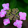 ピンク紫陽花