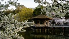 浮見堂と桜2