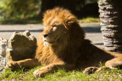 大人ライオン