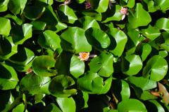 葉に隠れるスイレンの花