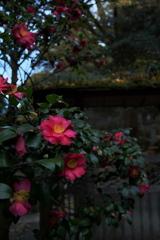 報国寺で見つけた山茶花