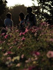 夕暮れ時の昭和記念公園のコスモス