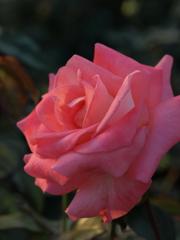 夕暮れに染まる薔薇