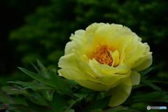 雨の中 たおやかに花開く
