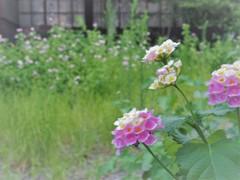 空き家の庭は花盛り
