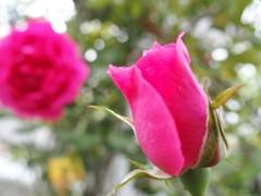 散歩道で薔薇 2