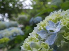 青まだ浅きあじさいの花