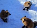 キツネコンコン雪の中 ろく