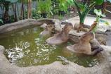 カピバラの行水