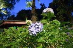 夜の紫陽花園
