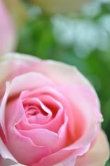 やさしい色の薔薇 Ⅱ