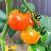 ようやく色づき始めたプチトマト
