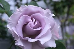 うす紫の薔薇