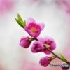 早春の花桃