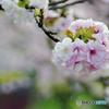 桜色の手毬