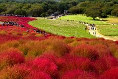 コキアの丘 赤と緑