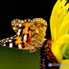 意外と奇麗なタテハチョウ