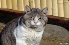 柴又の猫その二 柴又山本亭の自由猫
