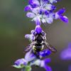珍しい蜂 らしい