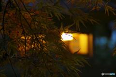 石灯籠に照らされるモミジ
