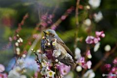 初春の椋鳥さん