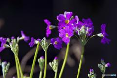さくら草 開花