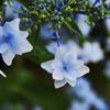 去年の紫陽花(流山東部公民館)