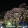 清瀧院の夜桜