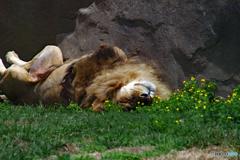 花の好きなライオン