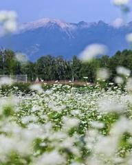 御嶽山とそば畑*長野