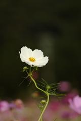 休耕田に咲くコスモス2