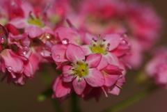 紅蕎麦の花