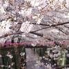 桜 目黒川#2