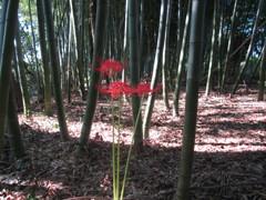 曼珠沙華の赤