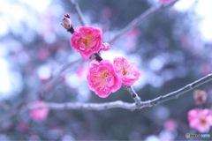 華やかウメの花